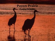 Paynes Prairie Wildlife Slideshow