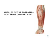 w7 l3 POSTERIOR FOREARM MUSCLES 06